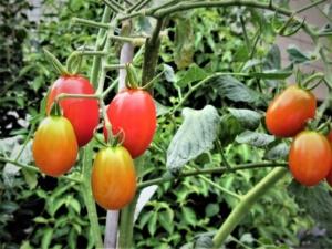 週末起業農業で育てやすい野菜
